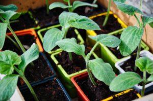 Potager, Courgette, Jardiner, Jardin, Légumes, Récolte